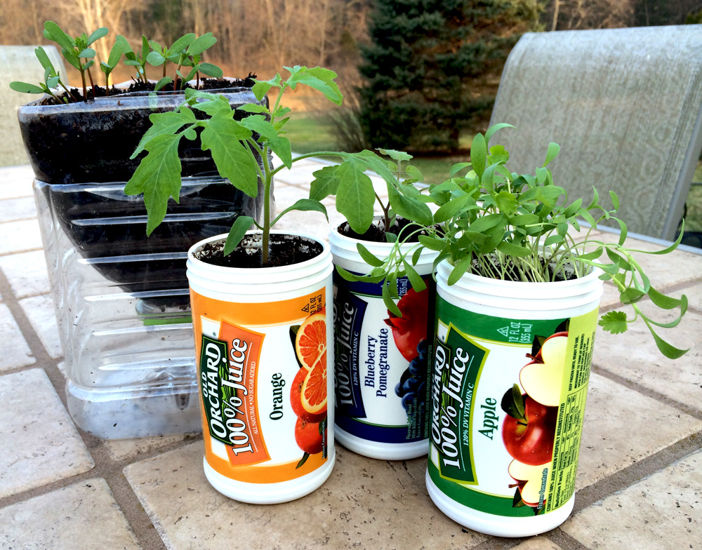 Growing tomatoes, flowers and cilantro in Old Orchard juice containers